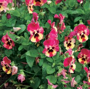 Pensée (Viola x wittrockiana)