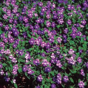 Browallie (Browallia speciosa)