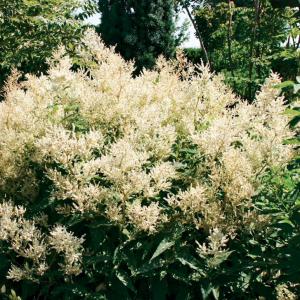 Renouée polymorphe (Persicaria polymorpha)