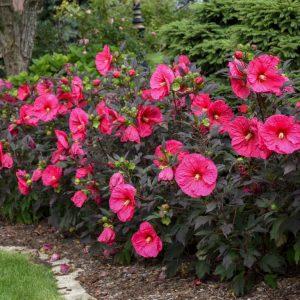 Haie de vivaces - hibiscus