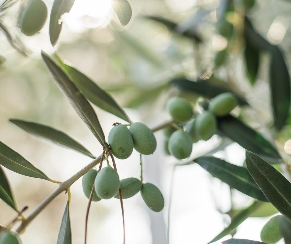 Polyphénols d'olives : les bénéfices à votre portée