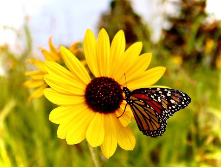 Attirer les papillons avec ces fleurs!